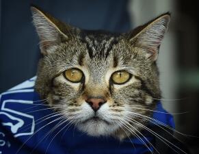 Reconocen a Tara, la gatita heroína de Bakersfield