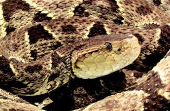La serpiente 'cuatro narices' y su capacidad de dar a luz hasta a 80 crías por parto