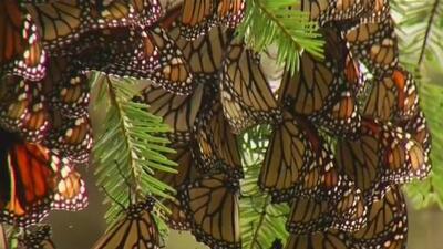 La mariposa monarca está desapareciendo de la ciudad de Chicago debido al cambio climático