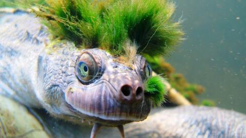 La tortuga con aspecto rockero que puede respirar por los genitales y que está en peligro