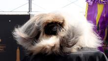 Con el viento al pelo: el perrito Wasabi celebra su victoria por todo lo alto