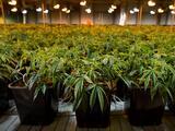 La legalización de la marihuana en Nueva Jersey ya es oficial: el gobernador Phil Murphy firma histórico paquete de leyes