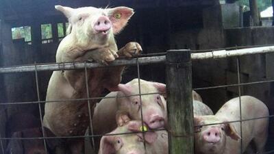 Investigación revela cómo pisotean, apuñalan y arrastran a animales moribundos en cuatro granjas de Florida