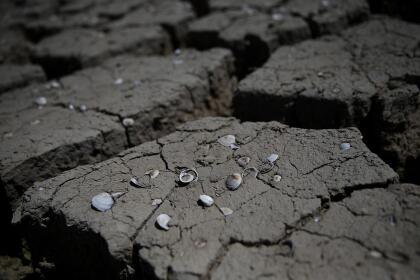 En esta imagen se aprecian conchas que permanecen en <b> tierra seca y agrietada</b> que solía ser parte de una zanja de riego en los campos de Firebaugh en el condado de Fresno. <br>