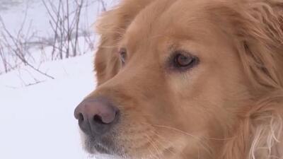 Un perro tuvo que ser rescatado de un río congelado cuando se cayó por perseguir a un venado