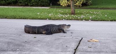 Este es el cocodrilo de 9 pies de largo hallado deambulando entre las casas de un vecindario de Miami