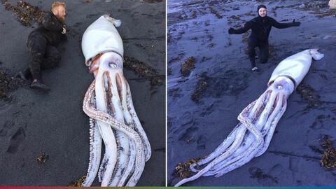 Sorprende hallazgo de calamar gigante en playa de Nueva Zelanda