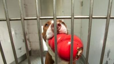 Dos perros pitbull matan a su dueña cuando fue a darles de comer a un centro veterinario en Texas