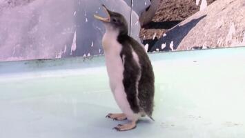 Conoce a Alex, el primer pingüino mexicano de la historia