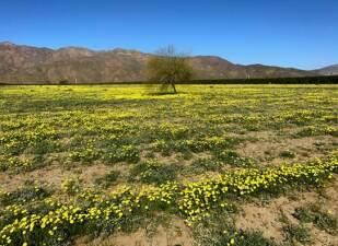 En fotos: las flores silvestres que dejaron las lluvias en California