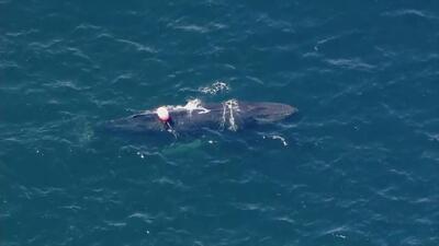 Esto es lo que pasa cuando una ballena queda atrapada en una red de pesca