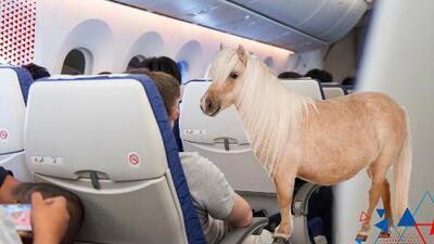 Los caballos miniatura puedan viajar en avión como mascotas de servicio