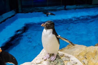"""El  <a href=""""https://www.montereybayaquarium.org/animals/live-cams"""" target=""""_blank"""">Monterey Bay Aquarium</a> en California presenta 10 diferentes cámaras en vivo de criaturas desde tiburones hasta pingüinos y muchos mas."""