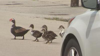 Un hombre asegura que colgó un pato muerto en una señal de tránsito para crear conciencia vial
