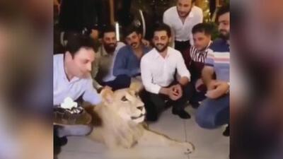Le estampó un pastel en la cara: el cruel maltrato animal de un sujeto a un león a quien tenía como mascota